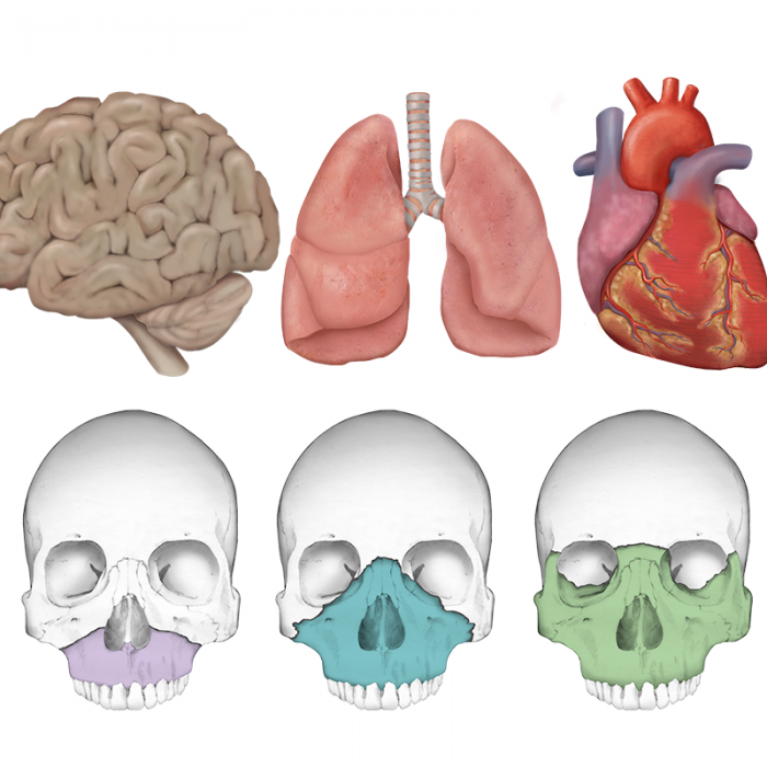 Organs and Skulls